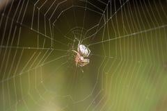 与蜘蛛的大白色蜘蛛网在露水在gr的早晨 免版税库存图片