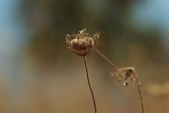 与蜘蛛网的干燥花 免版税库存图片