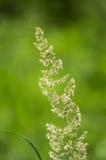 与蜘蛛网的开花的草 免版税库存照片
