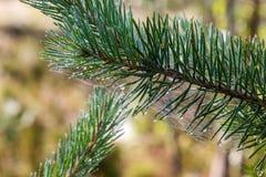 与蜘蛛网的杉木分支 免版税图库摄影