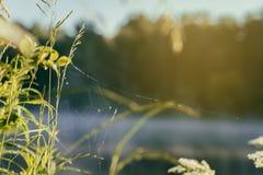 与蜘蛛网的沿海野草,在湖的安静的清早,黎明,太阳第一光芒  季节的概念,环境 库存照片