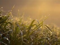 与蜘蛛网的满地露水的草 库存照片