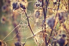 与蜘蛛网的蓟 库存照片