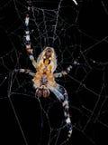 与蜘蛛网的蜘蛛 免版税库存图片