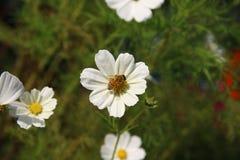 与蜜蜂的白色波斯菊 图库摄影