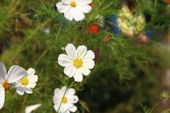 与蜜蜂的白色波斯菊 免版税库存图片
