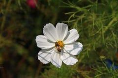 与蜜蜂的白色波斯菊 库存照片