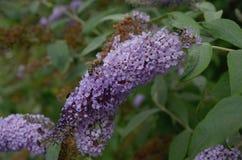 与蜜蜂的紫色花 免版税库存照片