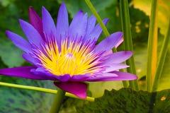 与蜜蜂飞行黄色花粉的紫色莲花 库存照片