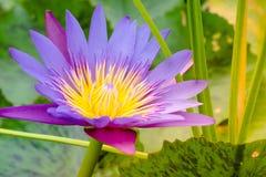 与蜜蜂飞行黄色花粉的紫色莲花 免版税库存图片