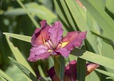与蜜蜂,达拉斯树木园的带红色紫色和黄色兰花绽放 免版税库存图片