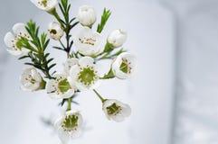 与蜡的开花的分支开花(Chamaelaucium uncinatum) 免版税库存图片