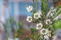 与蜡的开花的分支开花(Chamaelaucium uncinatum) 图库摄影