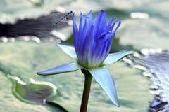 与蜻蜓特写镜头的水多的开花的莲花 免版税图库摄影