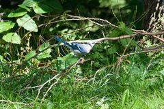 与蝉的蓝色尖嘴鸟 免版税图库摄影