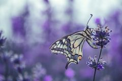 与蝴蝶的淡紫色花 库存照片