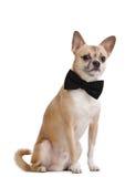 与蝶形领结的淡黄的小狗 免版税库存图片