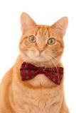 与蝶形领结的姜猫 免版税库存图片