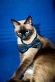 与蝶形领结的暹罗猫 免版税图库摄影