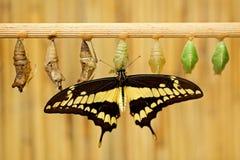 与蝶蛹pupas的蝴蝶 巨型燕子尾巴,Papilio thoas nealces,从墨西哥的美丽的蝴蝶坐叶子 库存照片