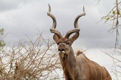 与螺旋的Kudu公牛在克鲁格公园塑造了垫铁 库存图片
