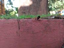 与蟑螂的红色蚂蚁战斗 免版税库存图片
