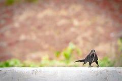与蠕虫的小黑鸟在嘴 库存图片