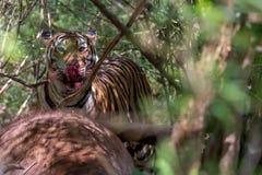 与血淋淋的嘴的孟加拉老虎 图库摄影