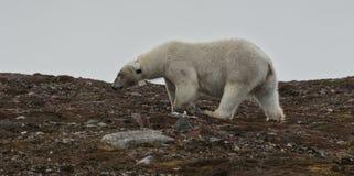 与衣领的女性北极熊在Andøyane, Liefdefjorden,卑尔根群岛 库存图片