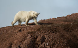与衣领的女性北极熊在Andøyane, Liefdefjorden,卑尔根群岛 库存照片