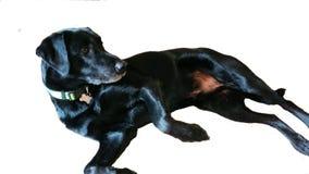 与衣领的家庭狗黑色实验室笨蛋老狗 免版税库存照片