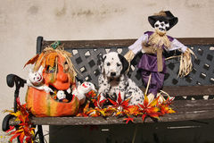 与补丁程序的达尔马希亚小狗在万圣节装饰 免版税库存照片