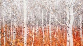 与表示的下落的秋天叶子的光秃的白杨木树冬天来临 免版税库存图片