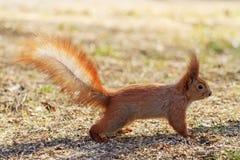 与被上升的尾巴的灰鼠 库存图片