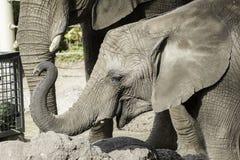 与被上升的树干的大象小牛 免版税库存图片