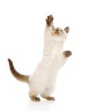 与被举的爪子的嬉戏的英国Shorthair小猫 隔绝在wh 图库摄影