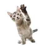 与被举的爪子的灰色小猫 库存照片