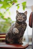 与被举的爪子的美丽的镶边猫,坐椅子 免版税库存图片