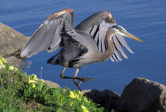 与被举的翼的一个伟大蓝色的苍鹭的巢 免版税库存照片