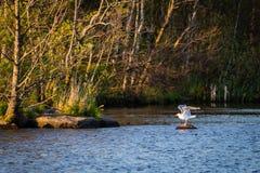 与被举的翼的海鸥,在石头在水中 免版税库存照片