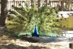 与被伸出的翼的公孔雀在他的新娘求爱 免版税库存图片