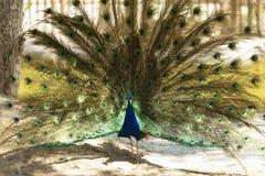 与被伸出的翼的公孔雀在他的新娘求爱 免版税库存照片