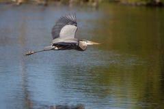 与被伸出的翼的飞行的蓝色苍鹭 图库摄影