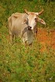与被切开的垫铁的浅褐色的母牛在灌木后 免版税库存照片