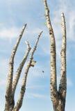与被削减的分行的白扬树 免版税库存照片