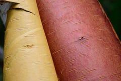 与被剥皮的吠声的纸皮桦(桦属papyrifera)树 免版税库存图片