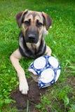 与被嚼的球的狗 免版税库存照片