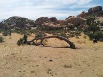 与被堆积的冰砾小山的死,弯的结束约书亚树在背景中 免版税库存图片