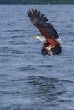 与被夺取的鱼的非洲鱼鹰 图库摄影