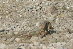与被察觉的鹿杀害的狐狼在干燥河床 图库摄影